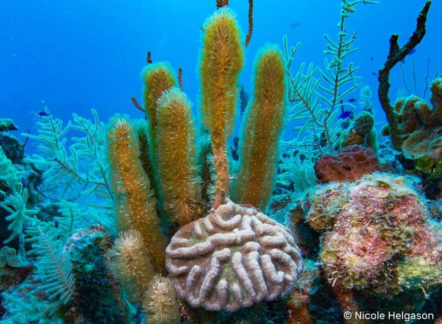 This soft coral grows into long fingers with shady polyps. This coral is also quite aggressive and can start to encrust and overtake other corals adopting their shape.