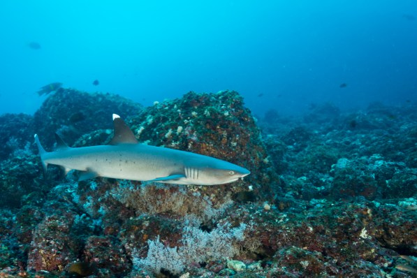 Whitetip reef sharks cruised by at Tortugas, utterly nonplussed by divers' presence