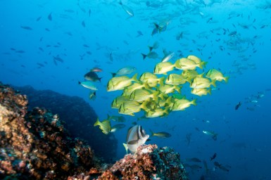 A group of porkfish grunts makes for a colorful photo at Black Rock