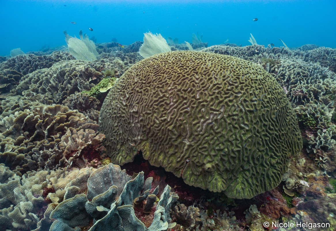 Large boulder brain coral holding its ground among a sea of lettuce coral