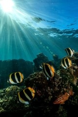 Lord Howe Island butterflyfish swim through light rays at an island dive site. (Photo credit: Destination NSW)