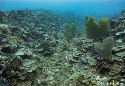The coral reef in Tela runs in shallow ridges starting at 33 feet (10 m). The ridgetops are covered in thin leaf lettuce coral (Undaria tenuifolia) and the sides are dotted with colorful Mycetophyllia and Montastrea.