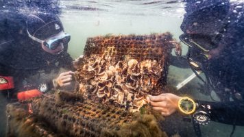 Professional Diver students from NYHS monitor the oysters. Photo courtesy of Benjamin Von Wong