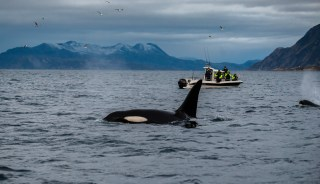 Orcas were often near the boat as we tried to swim with them in the fjord.