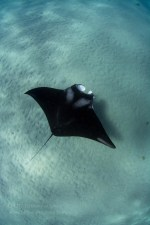 A manta named Gillie swims crystal-clear shallow waters. Photo courtesy of Bethany Augliere.