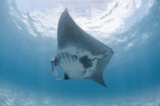 A Florida manta named Rocco missing his tail. Photo courtesy of Nico Ientile.