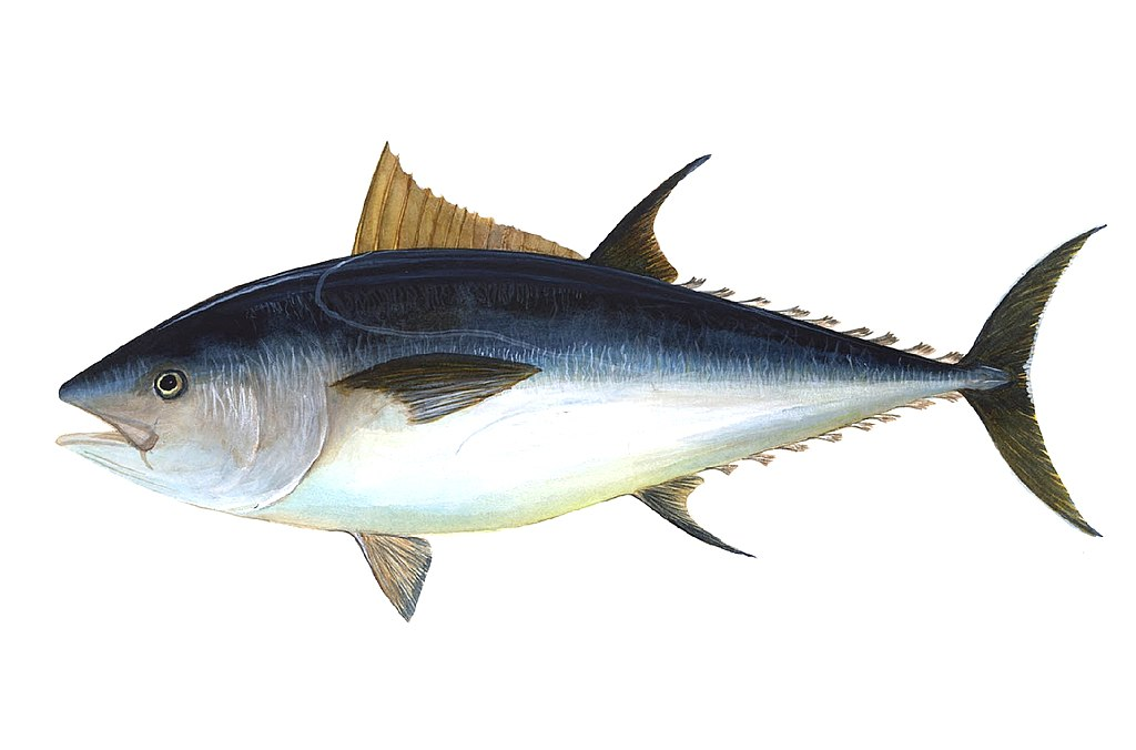 1024px-Bluefin-big