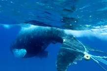Entanglement can endanger any of the humpback whales that visit Hawaiian Islands Humpback Whale National Marine Sanctuary each year. (Photo credit: Ed Lyman/NOAA, under NOAA MMHSRP permit #932-1905)