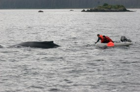 The disentanglement team at Hawaiian islands Humpback Whale National Marine Sanctuary is trained to cut humpback whales free without ever getting in the water. (Photo credit: NOAA)