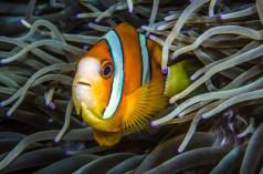 Orange-finned Anemonefish - Photo by Wayne MacWilliams