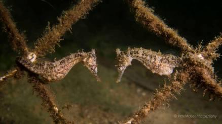 A pair of seahorses at Chowder Bay_Pete McGee