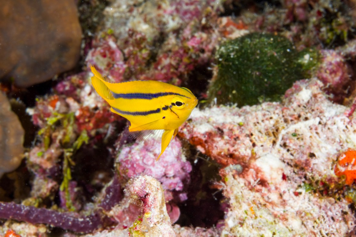 Yellowtail damselfish cultivate a personal algae patch by repeatedly biting live coral tissue to create skeletal lesions. This is a juvenile.