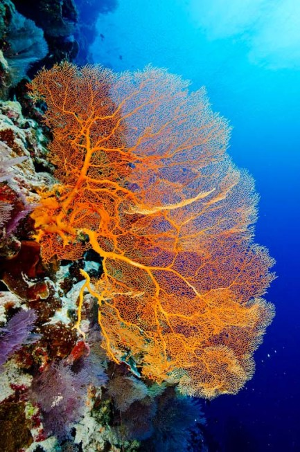 Gorgonian fan at Perpendicular Wall. (Photo credit: Michael Seebeck)