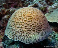 Grooved brain corals
