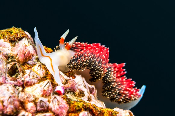 An underwater snail called Hilton's aeolid crawls on a reef in C
