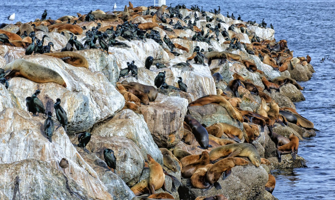 Sea Lions And Breeding Brandt's Cormorants Share Space On Monter