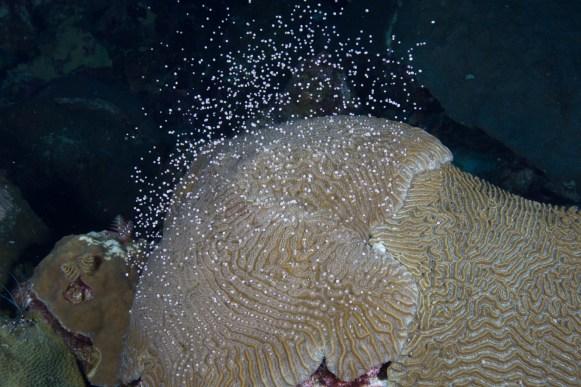 Brain coral spawning. (Photo credit: G.P. Schmahl/NOAA)