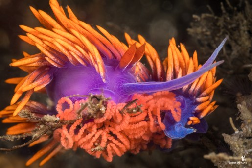 The Spanish Shawl is one of Southern California's most iconic nudibranchs. You'll find them all over most healthy reefs starting in fairly shallow water. Here, we see one actively laying eggs. Shot with: Canon 5D Mark IV, Canon 16-35mm f/4, Sea & Sea housing