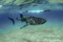 Whale shark and snorkelers-04459