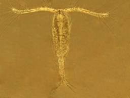 Believed to be calanoid, a copepod. Photo courtesy of Merry Passage