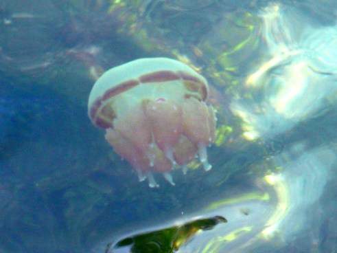 Visitors don't need to fear stings from the jellyfish when the enter the water. They are harmless to humans and swimming with them is an incredible experienc