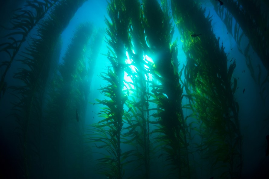 Beautiful underwater kelp forest in clear water shows the sun ra