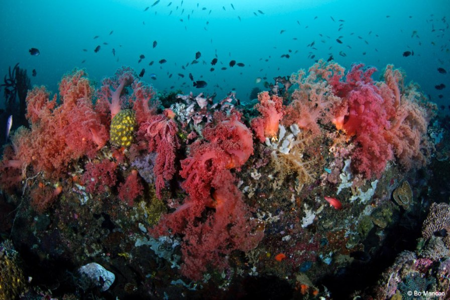 Hard corals are obvious victims of anchors, but studies show that soft-coral cover is also lower at high anchoring intensity sites. Credit: Bo Mancao