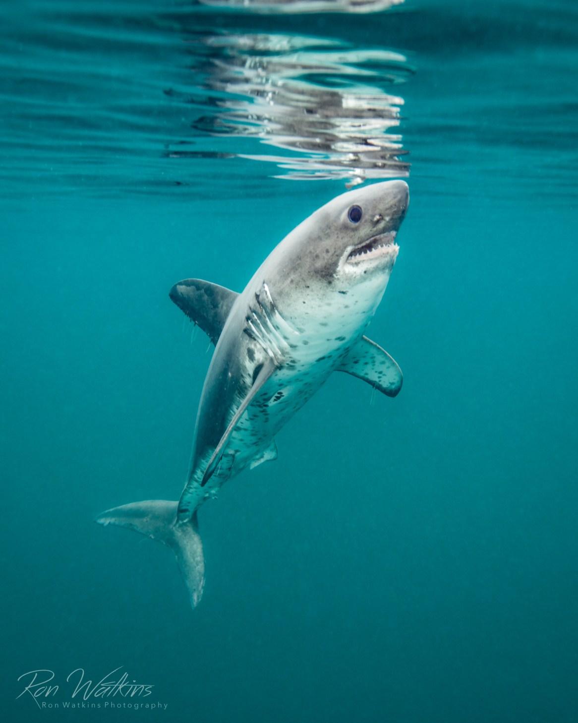 Salmon Shark by Ron Watkins