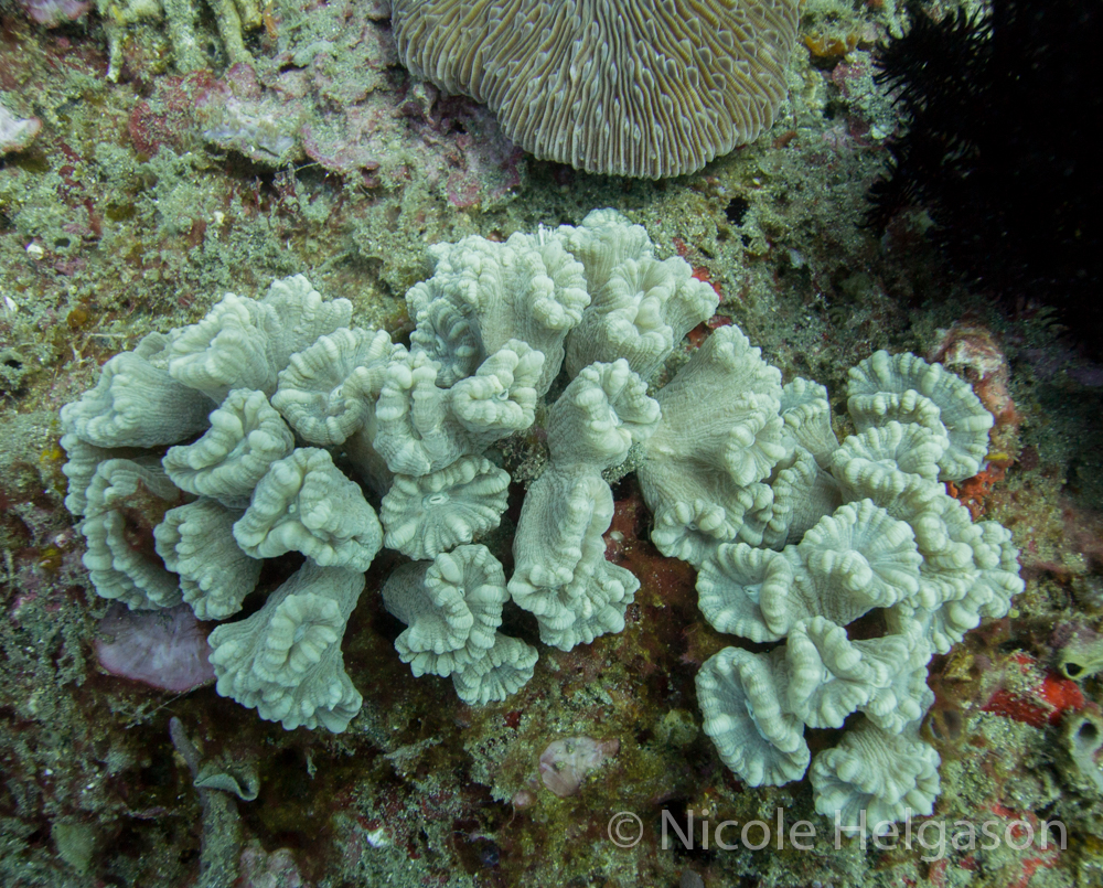 Caulastrea is a small coral with little, trumpet-shaped corallites.