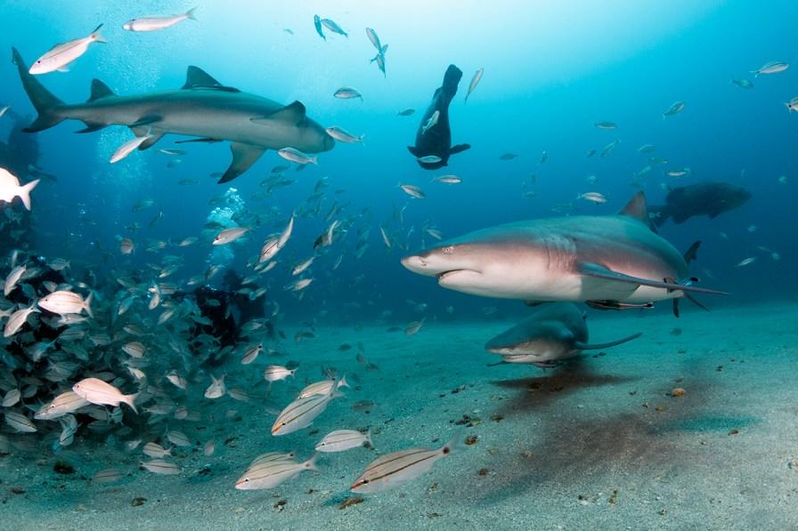 Lemon sharks in Jupiter, Florida. Photo credit: Walt Stearns
