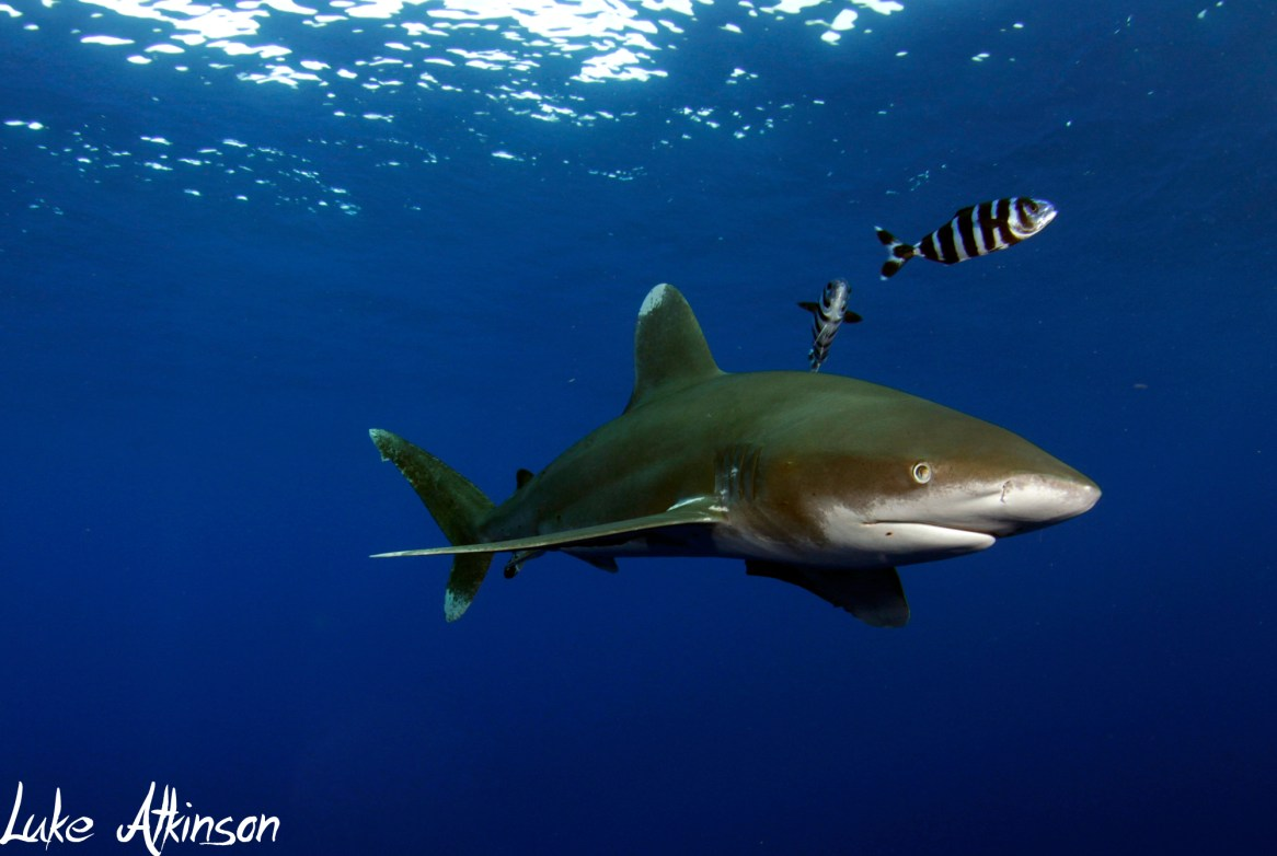 An oceanic whitetip in the Red Sea. Photo credit: Emperor Divers/Luke Atkinson