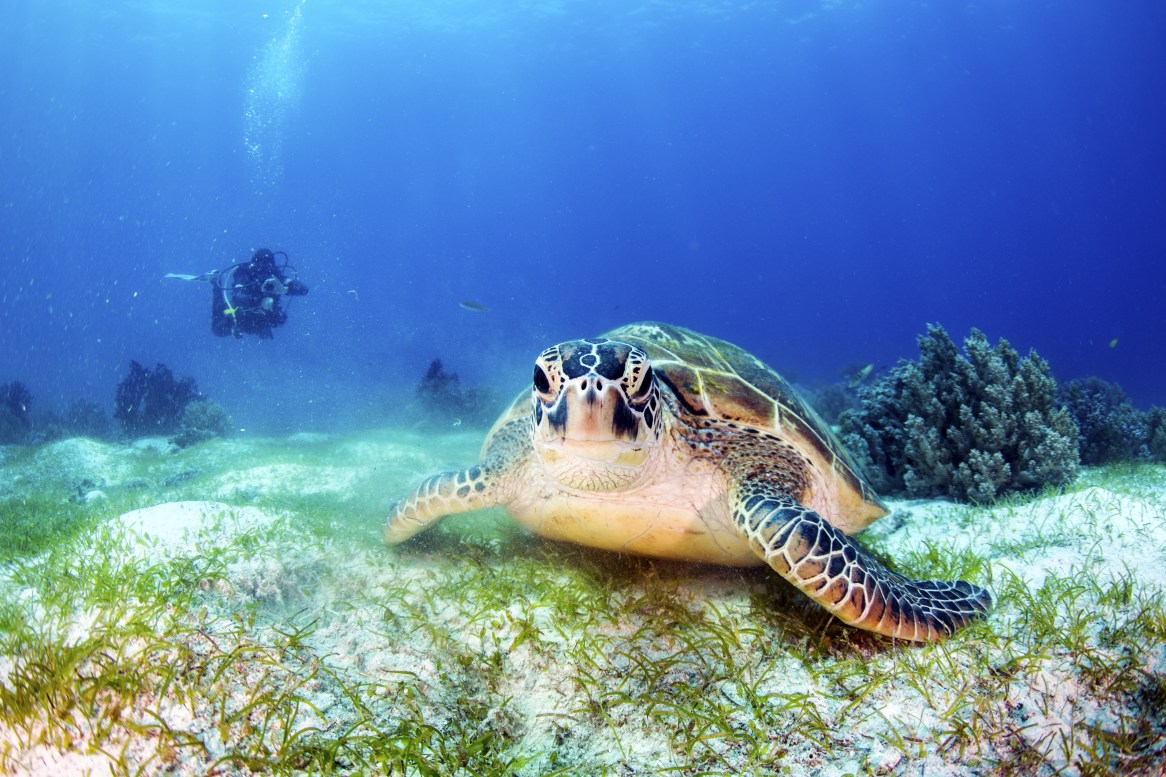 Green Turtle on the sea bed with a diver in the background.
