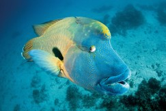 Maori Wrasse. Photo Credit Tourism and Events Queensland