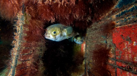 Pufferfish making their home in a discarded shopping cart. Photo credit: Matt Testoni