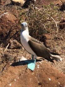 An iconic blue-footed booby pauses from his daily routine to pose for the camera. Photo credit: Rebecca Strauss