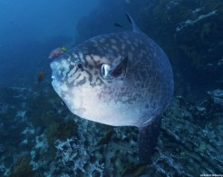 Unique-looking mola molas are quite shy fish, although divers have a very good chance of spotting them at Punta Vicente Roca. Photo credit: Robert Wilpernig