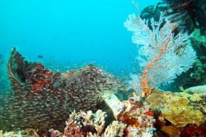 Glassfish and fan at Airocobra wreck