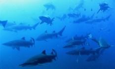 Grey nurse sharks - credit Wolf Rock Dive Centre