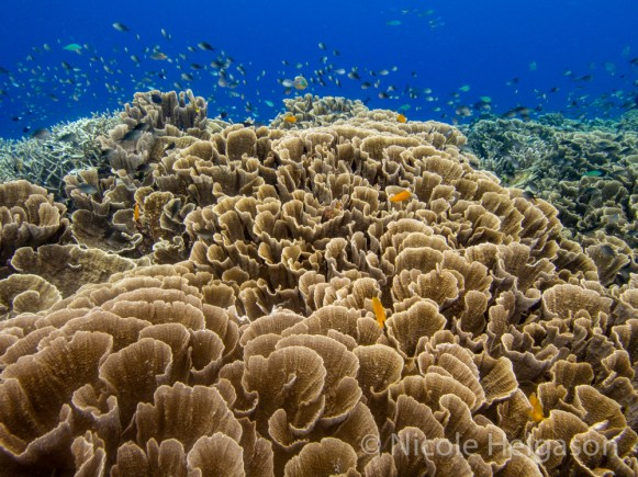 Large plating Montipora corals have intricate grooves and ridges. (Photo credit: Nicole Helgason)