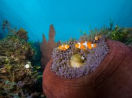 Clownfish of all shapes and sizes are ubiquitous across Papua New Guinea, and Tufi is no exception. (Image courtesy of Tufi Dive Resort)
