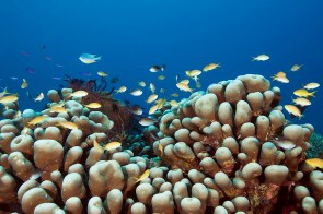 Often divers can hardly see the healthy coral because there are so many fish. (Photo courtesy of Tawali Resort).