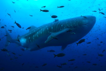 Whale sharks are seasonally common at Darwin's Arch in the Galapagos Islands (Photo credit: Jonathan R. Green)