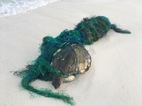 Injured olive ridley sea turtle - Credit Dr. Claire Petros