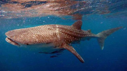 Whale shark at Koh Tao (photo credit: Sophia Geyer)