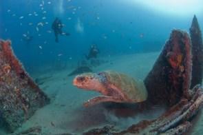 A loggerhead sea turtle visits the wreck of the Ashkhabad. Photo: NOAA