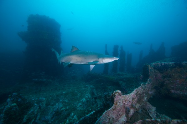 A sand-tiger shark swims over the wreck of the Caribsea. (Photo credit: NOAA)