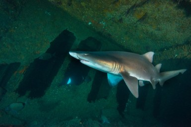 Divers frequently encounter sand-tiger sharks below the deck of the Caribsea. (Photo credit: NOAA)