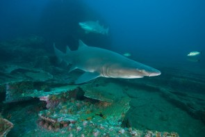 Sand-tiger sharks swim over the wreck of the Caribsea. (Photo credit: NOAA)