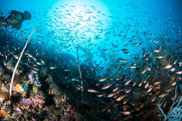 Every inch of the SS Yongala is covered in life, from whip coral to baitfish and sea fans (Photo: Nadia Aly)