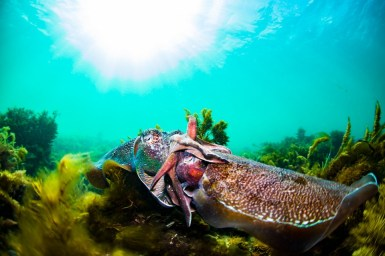 Some big cuttlefish can reach up to 5 feet (1.5 m) long (Photo credit: Nadia Aly)